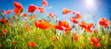 Poppies field at sunlight Stock Photography