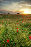 Poppies field at sunset Stock Images