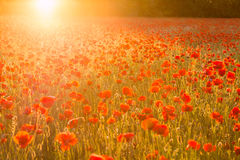 Poppies field at sunset Royalty Free Stock Photo
