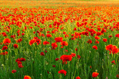 Poppies field at sunset Royalty Free Stock Image