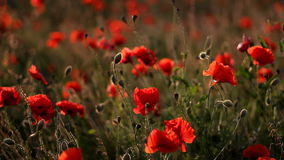 Poppies in field swaying in wind at sunset stock video footage