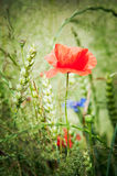 Poppies in the field of triticale Royalty Free Stock Photography