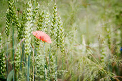 Poppies in the field of triticale Royalty Free Stock Image