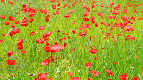 Poppies field royalty free stock image