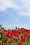 Poppies field under the blue sky of  Greece Stock Photo