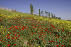 Poppies field in Uzbekistan Stock Photo