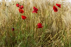 Poppies in the field Stock Photography