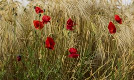 Poppies in the field Royalty Free Stock Photo