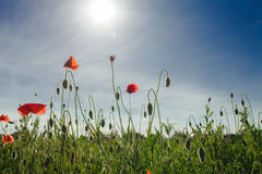 Poppies field view Royalty Free Stock Photos