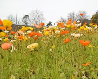 Poppies. A field of yellow, orange and white poppies with green stems and buds. In the distance is a hill and some trees. The picture was taken in the day time Royalty Free Stock Images