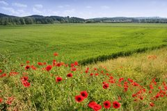 Poppies fields Royalty Free Stock Photos