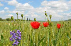 Poppies in filed Royalty Free Stock Photo