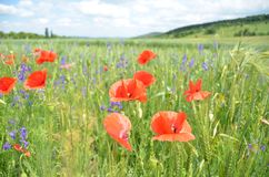 Poppies in filed Royalty Free Stock Images