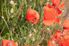 Poppies in Flanders Royalty Free Stock Photos