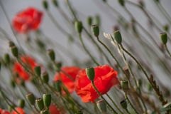 Poppies in Flanders Royalty Free Stock Image