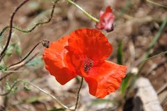 Poppies flourishing in the mountains royalty free stock photos