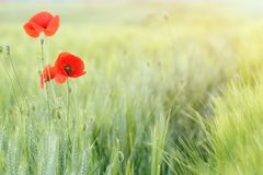 Free Poppies Flower And Green Wheat Field Countryside Spring Royalty Free Stock Images - 136570189