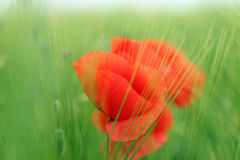 Poppies flower in barley field Stock Photos
