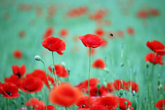 Poppies flower and bees Stock Photo