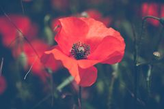 Poppies flower blossom. Beautiful wild field of red poppies with Stock Images