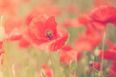 Poppies flower blossom. Beautiful wild field of red poppies with Royalty Free Stock Photos