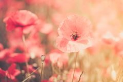 Poppies flower blossom. Beautiful wild field of red poppies with Stock Image