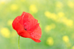 Poppies flower closeup Royalty Free Stock Images