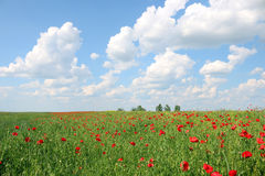Poppies flower field Royalty Free Stock Photos