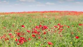 Poppies flower field landscape stock video footage