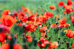 Poppies flower field morning Stock Photos