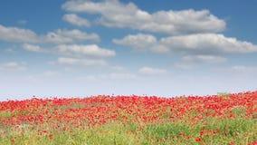 Poppies flower on field stock video footage