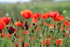 Poppies flower field Royalty Free Stock Photo