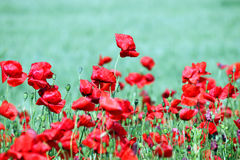 Poppies flower on field Royalty Free Stock Image