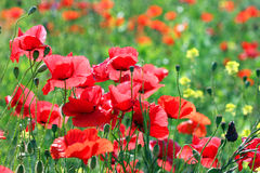 Poppies flower field Royalty Free Stock Photography