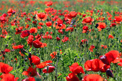 Poppies flower field Stock Photo