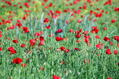 Poppies flower field Stock Images
