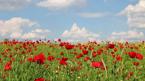 Poppies flower meadow and blue sky stock video footage