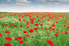 Poppies flower meadow landscape Stock Images