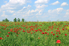 Poppies flower meadow landscape Royalty Free Stock Image