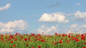 Poppies flower meadow landscape stock footage