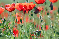 Poppies flower meadow morning Stock Image
