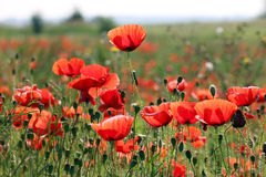 Poppies flower on meadow morning Royalty Free Stock Images
