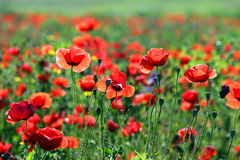 Poppies flower meadow morning Stock Images
