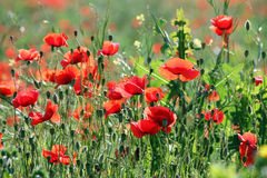 Poppies flower meadow Royalty Free Stock Images