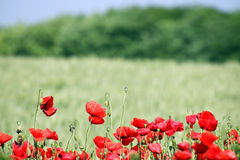 Poppies flower meadow Royalty Free Stock Image