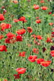 Poppies flower on meadow Stock Images