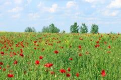 Poppies flower meadow Stock Photos