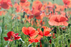 Poppies flower morning Royalty Free Stock Images
