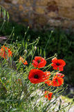 Poppies flowering along the roadside in Val d'Orcia Tuscany Stock Images