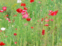 POPPIES FLOWERING ON THE MEADOW Stock Photo